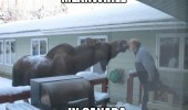 canada moose meanwhile man kissing funny pics pictures pic picture image photo images photos lol