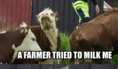 farmer milk me once crazy mad cow animal funny pics pictures pic picture image photo images photos lol