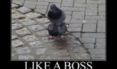 pigeon like a boss animal bird meme funny pics pictures pic picture image photo images photos lol