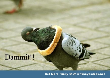 pigeon bread meme bird animal funny pics pictures pic picture image photo images photos lol