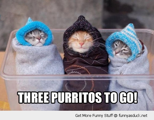 three purritos burritos cats blankets kittens lolcat animals funny pics pictures pic picture image photo images photos lol