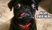 see what you did cross eyed dog pug animal funny pics pictures pic picture image photo images photos lol