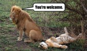 you're welcome lion sex animal jungle funny pics pictures pic picture image photo images photos lol