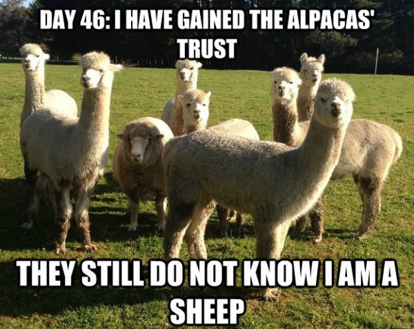alpacas sheep animal gained trust funny pics pictures pic picture image photo images photos lol