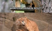 watcha thinking about squirrel lion stuff animal funny pics pictures pic picture image photo images photos lol