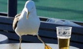 steven seagull animal bird funny pics pictures pic picture image photo images photos lol