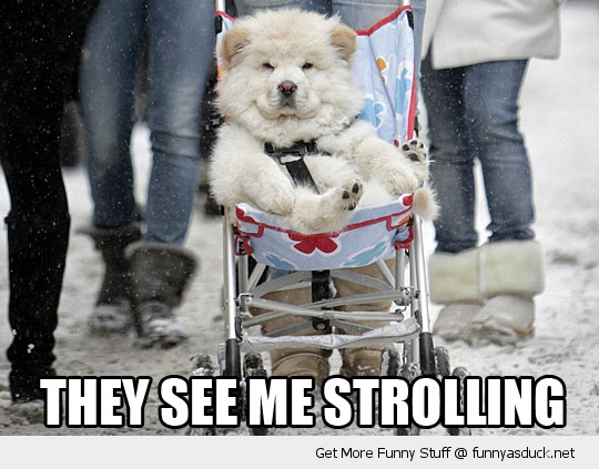 see me strollin haters hate rollin dog push chair stroller funny pics pictures pic picture image photo images photos lol