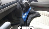 sup dog animal car funny pics pictures pic picture image photo images photos lol