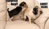 suprise hug dogs animals pugs puppy funny pics pictures pic picture image photo images photos lol