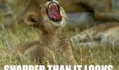 funny-tiger-lion-cub-grass-pics