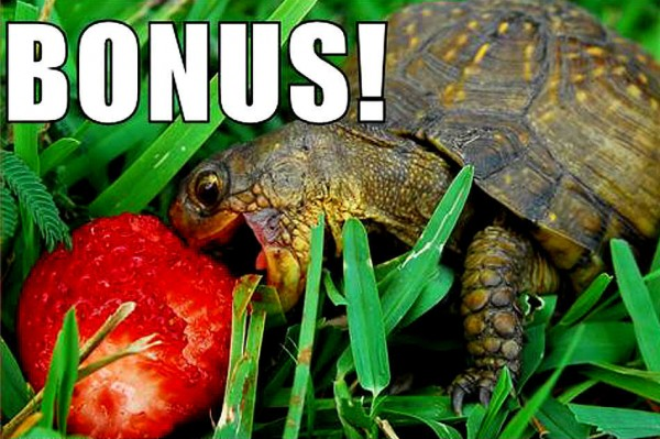 turtle tortoise animal strawberry bonus funny pics pictures pic picture image photo images photos lol