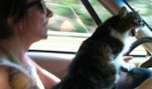 road rage cat driving blinkers animal funny pics pictures pic picture image photo images photos lol