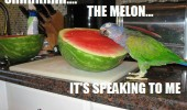 bird parrot budgie talking water melon funny pics pictures pic picture image photo images photos lol