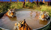 tiger in a bath animal tub funny pics pictures pic picture image photo images photos lol