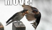 angry bird shouting sparrow move animal funny pics pictures pic picture image photo images photos lol