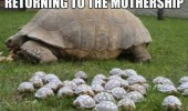 returning mother ship baby turtle tortoise animal cute funny pics pictures pic picture image photo images photos lol