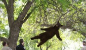 bear falling tree animal i must go mat cops funny pics pictures pic picture image photo images photos lol