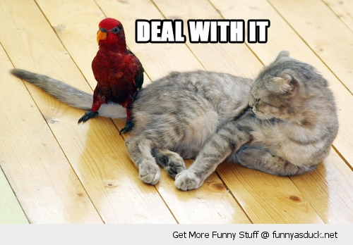 http://funnyasduck.net/wp-content/uploads/2012/11/funny-bird-parrot-cats-teal-deal-with-it-pics.jpg