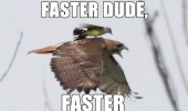 faster dude bird animal standing falcon hawk eagle flying funny pics pictures pic picture image photo images photos lol