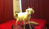 goat this bed pun joke animal calm down funny pics pictures pic picture image photo images photos lol