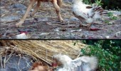 chicken dog fighting animals falcon kick angry funny pics pictures pic picture image photo images photos lol