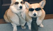 cool dogs shades sunglasses undercover incognito incorgnito animal funny pics pictures pic picture image photo images photos lol