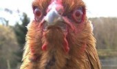 crazy mad chicken angry bird aint going kfc mother fucker animal funny pics pictures pic picture image photo images photos lol