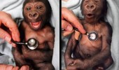 baby gorilla monkey vet stethoscope vet cold cute animal funny pics pictures pic picture image photo images photos lol