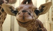 cute baby giraffe animal smiling happy i popped pooted fart zoo funny pics pictures pic picture image photo images photos lol
