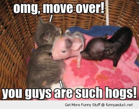cute cat kitten bed baby pigs piglets move omg over guys hogs funny pics pictures pic picture image photo images photos lol