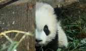 soon panda hiding cuddles cute baby animal bear funny pics pictures pic picture image photo images photos lol