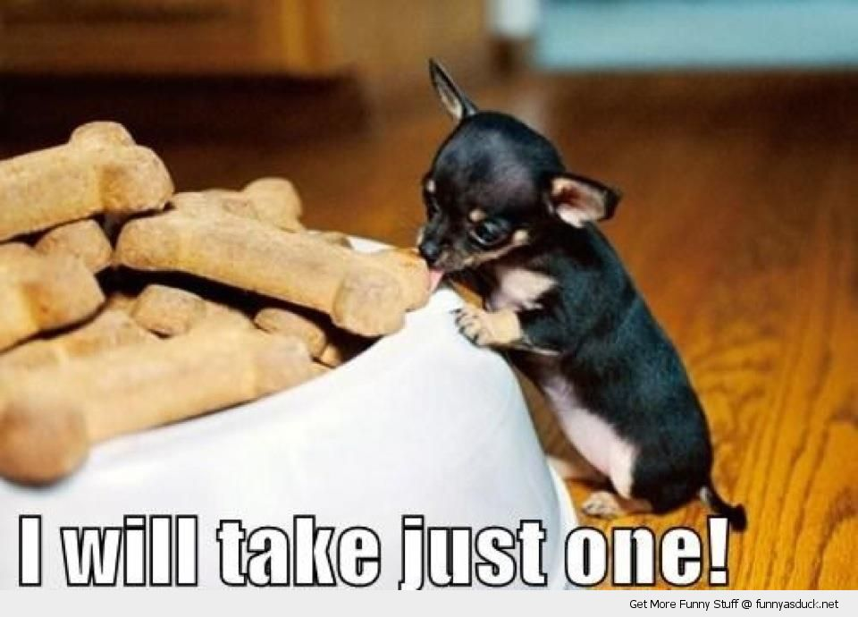 Cute tiny small dog animal eating biscuit treat just one funny pics