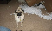 box mess to be fair dog animal pug funny pics pictures pic picture image photo images photos lol