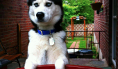 dog husky waiting gate masters not here animal funny pics pictures pic picture image photo images photos lol