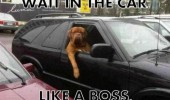 wait in the car like a boss dog chilling animal funny pics pictures pic picture image photo images photos lol