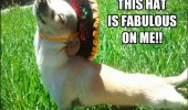 fabulous dog animal hat camp gay sombrero funny pics pictures pic picture image photo images photos lol