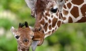 mom giraffe licking baby face embarrassed animal funny pics pictures pic picture image photo images photos lol