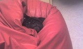 go on without me dog pug animal stuck couch sofa funny pics pictures pic picture image photo images photos lol