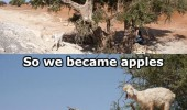 goats standing in tree anything became apples fruit animals funny pics pictures pic picture image photo images photos lol
