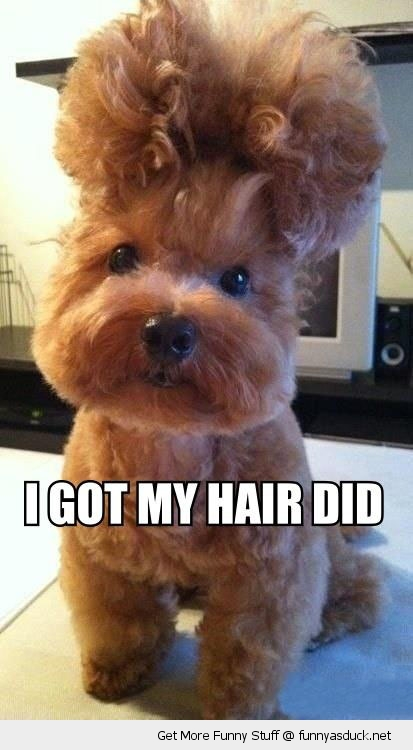 got my hair did dog animal salon fancy cute funny pics pictures pic picture image photo images photos lol