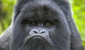 grumpy angry gorilla monkey animal sad monday face funny pics pictures pic picture image photo images photos lol