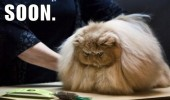 fat hairy fluffy cat animal angry vet groomer soon funny pics pictures pic picture image photo images photos lol