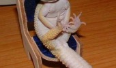 i has have feets cute lizard on chair bearded dragon animal funny pics pictures pic picture image photo images photos lol