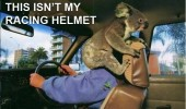 this isn't my racing helmet koala bear mans face driving animal head funny pics pictures pic picture image photo images photos lol