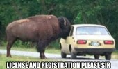 bison buffalo head in car license please animal funny pics pictures pic picture image photo images photos lol