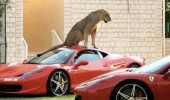 no alarm needed lion lioness sitting sports car animal funny pics pictures pic picture image photo images photos lol