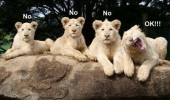 smile for the camera lions no ok funny face funny pics pictures pic picture image photo images photos lol