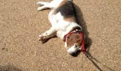 lazy fat dolk walk over lying down lead leash animal funny pics pictures pic picture image photo images photos lol