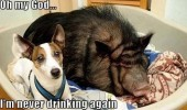 never drinking again dog shocked bed pig boar animals funny pics pictures pic picture image photo images photos lol