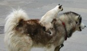 onward cat riding dog animal victory funny pics pictures pic picture image photo images photos lol
